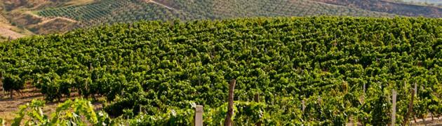 Cataldo Calabretta viticoltore